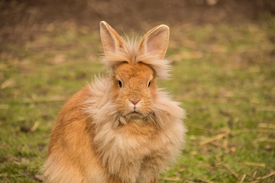 Dwarf Lionhead Rabbit
