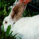 how to get rid of mites on rabbits