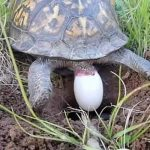 Where Do Turtle Eggs Come Out Of?