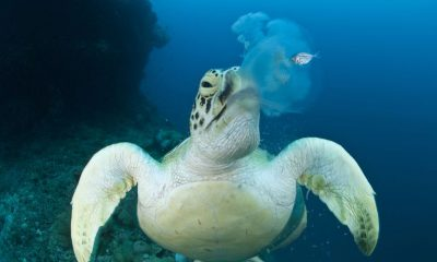 what does aquatic turtle eat