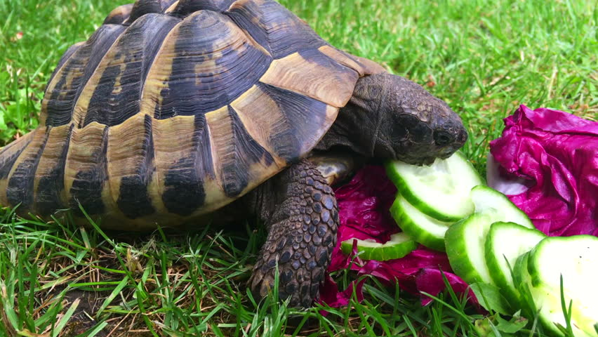 does turtle eat cucumber