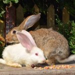 why do rabbits shake