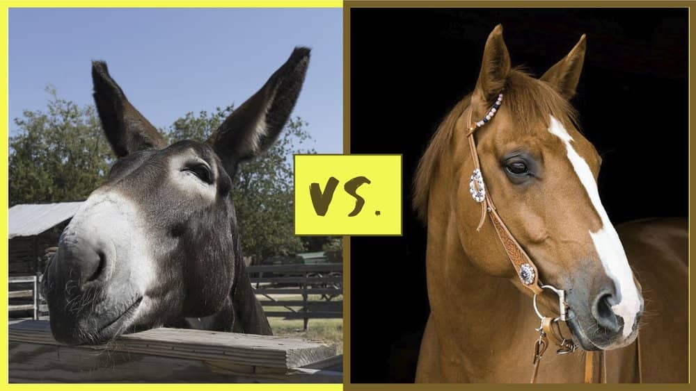difference between riding a mule and a horse