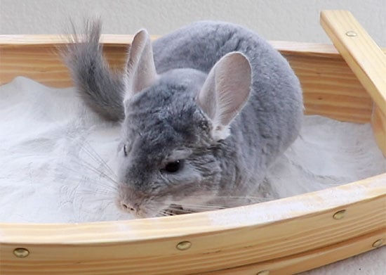 why do chinchillas dust bath