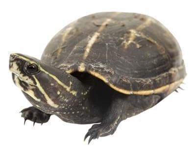 Striped-Mud-Turtle