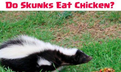 Do Skunks Kill Chickens