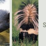What do skunks like to eat?