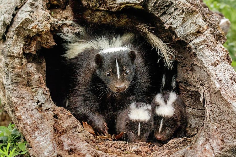 when do skunks have babies