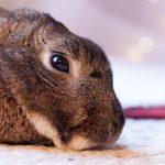 Depressed Rabbit