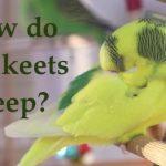 how do parakeets sleep?