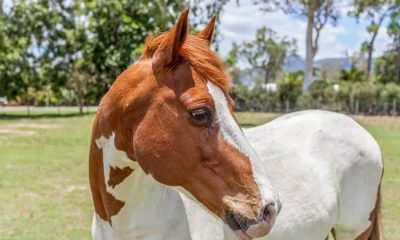 calmest horse breeds