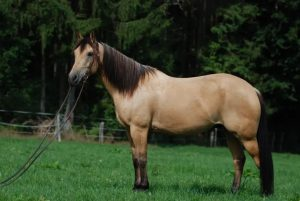 best horse breed for beginners