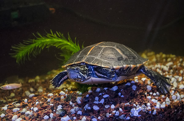 Create beach with pebbles in turtle tank