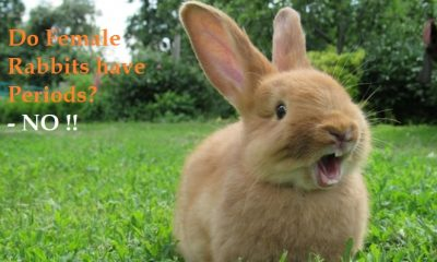 Do Female Rabbits Have Periods