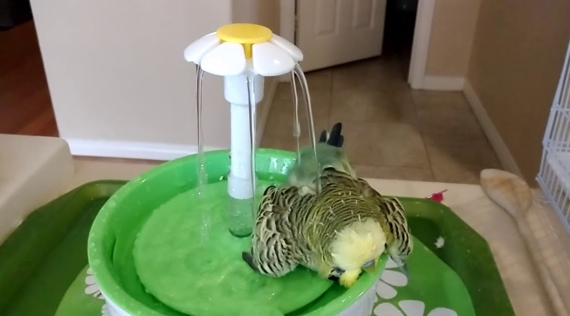 Fountain bath of budgie