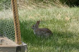 How High Can Rabbits Jump Garden Fence?