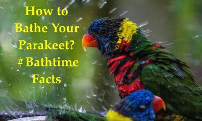 How to bathe a parakeet?