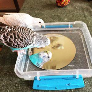 Mirror in water to make parakeet bath