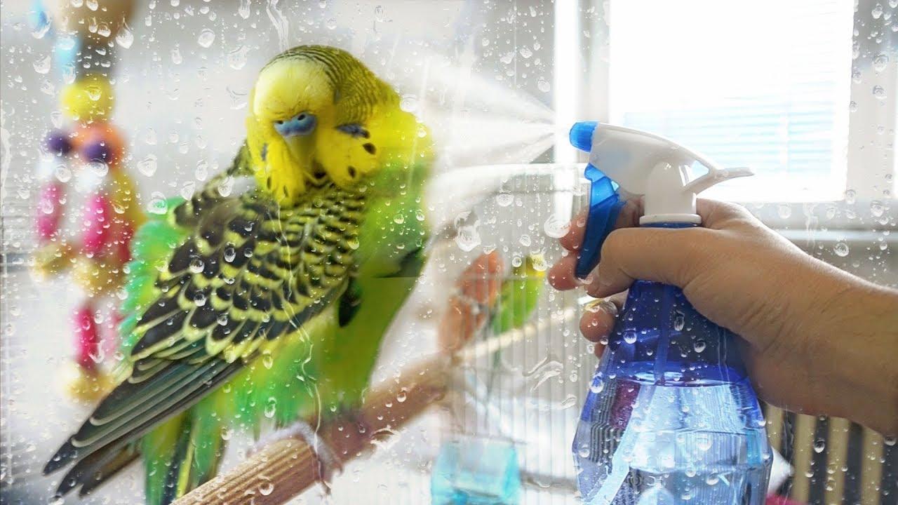 Spraying a Parakeet with misting spray