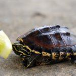 what do land turtles eat