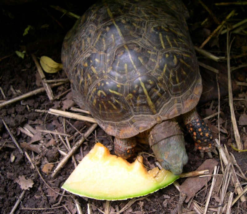 What do land turtles eat?