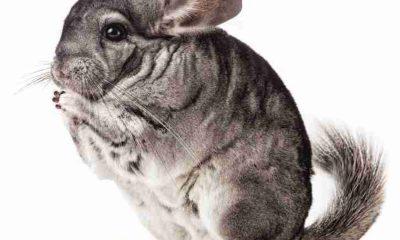 are chinchillas marsupials?