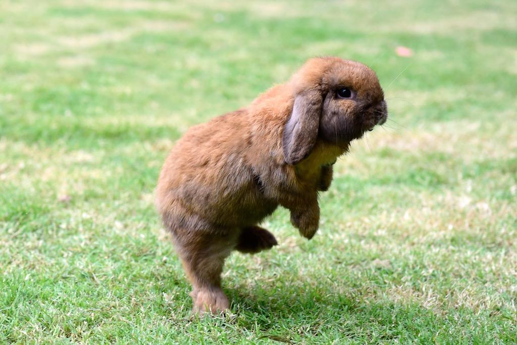 how high can dwarf bunny jump