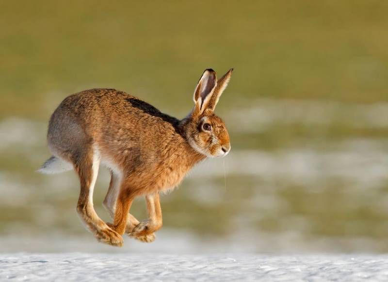 how high can hare jump