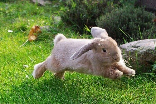 how high can holland lop jump