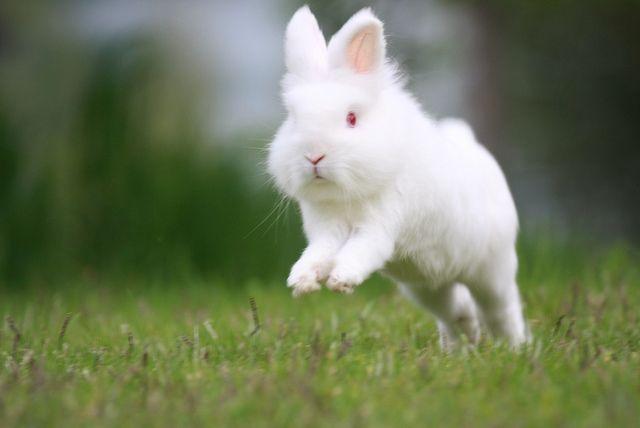 how high can lionhead bunny jump