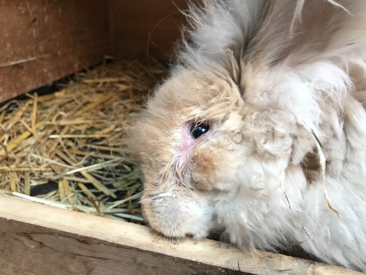 how to clean rabbit eyes