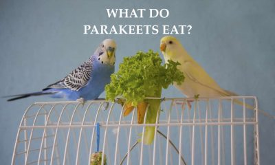 what do parakeets eat?