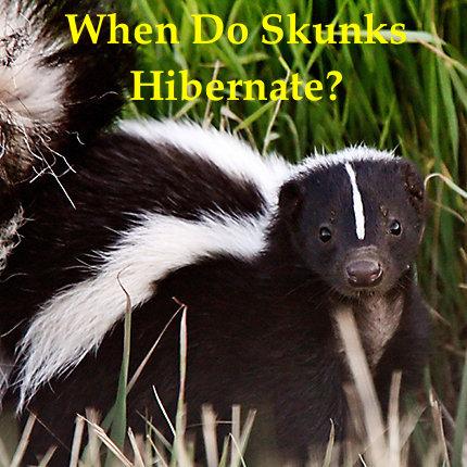 when do skunks hibernate