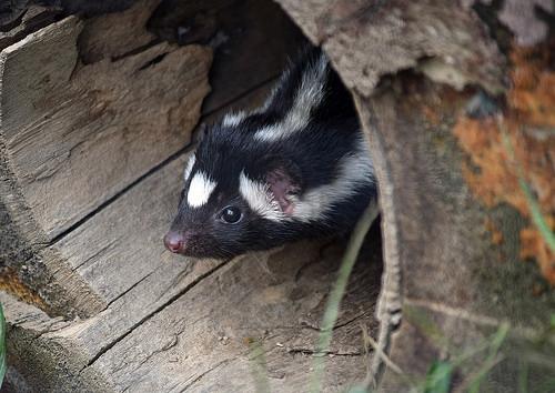 where do skunks go in winters