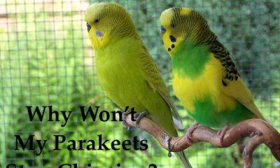why wont my parakeet stop chirping