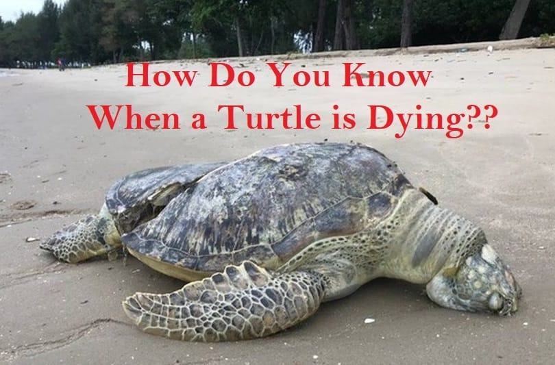 how to tell if your turtle is dying