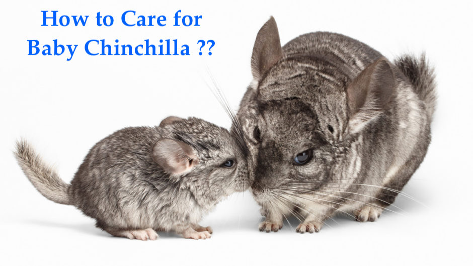 How to Care for Baby Chinchillas