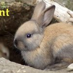 Pregnant Rabbit Labor Signs
