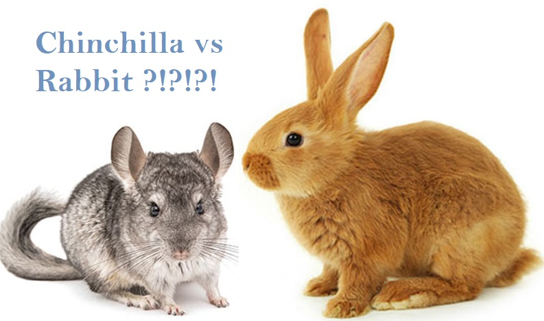 chinchilla vs rabbit