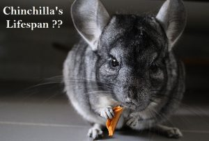 chinchillas life expectancy