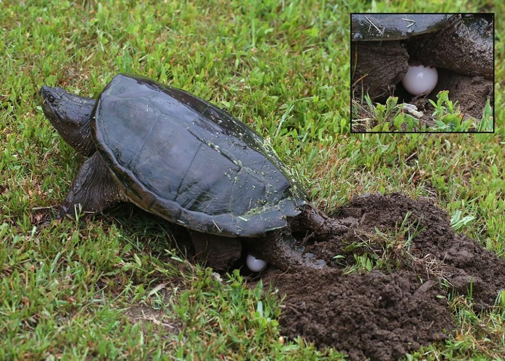 how to take care of snapping turtle eggs