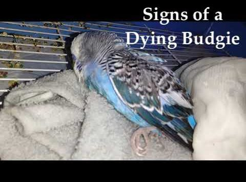 signs of dying budgie