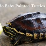 what do baby painted turtles eat