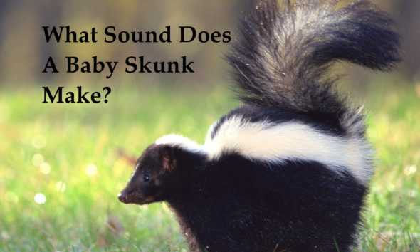 what sound does a baby skunk make?