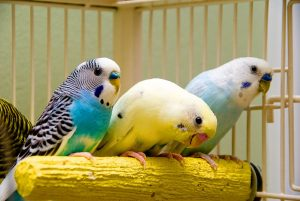 How To Tell If Parakeet Is Happy