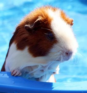 swimmimg and guinea pigs