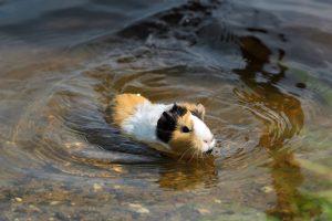 can guinea pigs swim?