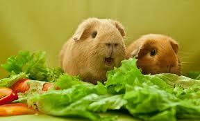 Can Guinea Pigs Eat Swiss Chard