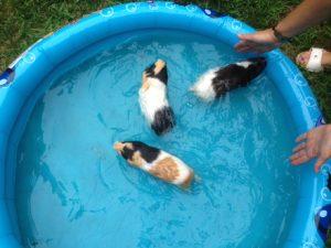 swimming guinea pigs in bathtub