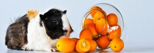 guinea pigs eat clementines